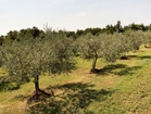 Luxury Hotel Secret Istria - the landscapes are full of charming olive groves